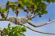 Public urged to report sightings of oak processionary moth caterpillars