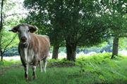 Cattle graze in East London park for first time in 150 years