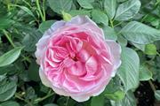 Harkness Roses launch The Queen Elizabeth II Rose to celebrate Her Majesty's Platinum Jubilee