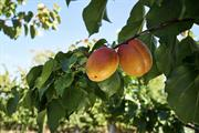 """Summer heatwave makes for """"tastiest ever"""" English apricots"""