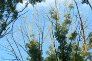 City finds more than half of ash trees infected with dieback