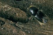 Movement restrictions introduced to protect against eight toothed bark beetle tree pest in Kent