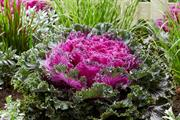 'Revolutionary' edible ornamental kale to be released by Suttons this May
