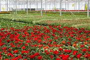 Giant UK grower hopes coronavirus-disrupted supermarket supply chain settles soon