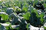 Brassica Alert: high risk of ringspot and white blister