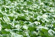 Brassica alert: high risk of white blister