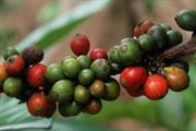 Coffee pulp shows potential in boosting tropical forest recovery