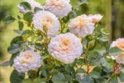David Austin Roses increases turnover by 7%
