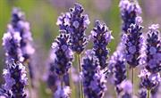 Lavender is the herb we most struggle to keep alive according to Google search data