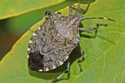 More Brown Marmorated Stink Bugs identified in the UK environment