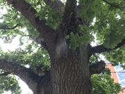 Defra issues plea for oak processionary moth vigilance after Dutch interception