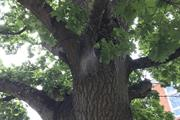Oak processionary moth - findings on 2,000 trees so far this year but none in Pest Free Areas
