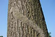 Forestry Commission launches campaign for public to report Oak Processionary Moth