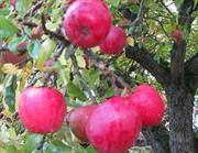 Toby Buckland to plant Pilgrim 400 apple to mark Mayflower anniversary