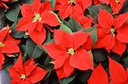 Poinsettia Bemisia tabaci risk updated by Defra