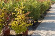 Cost of imported trees soars by as much as 40%