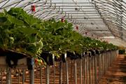 """Mycorrhizae """"boost strawberry growth and compound production"""", say researchers"""