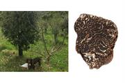 "Premium truffle growing ""has potential in UK"""