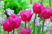 Flower bulb of the year announced