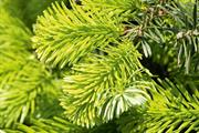 Report warns of pest threat from imported Christmas trees