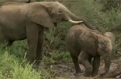 The Secret Lives of Elephants: a hit for BBC One