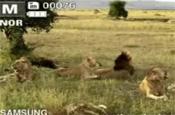 Samsung: lion viral on YouTube