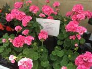 Pelargonium Zonale 'Big Ezee Pink' AGM - image: HW