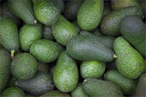 Avocado aficionados heading to New Zealand