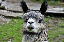 Campaign Diary: If in doubt - use an alpaca