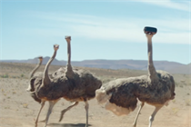 A hopeful ostrich takes flight in inspirational Samsung Galaxy S8 spot