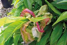 Pest & Disease management - Peach leaf curl