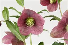 Belgian growers bring new hellebores to market