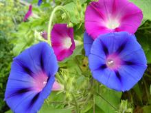CRISPR technology used to change flower colour