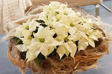 Horticulture Week Podcast #6: Stars for Europe on the 2020 poinsettia season and beyond