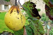 Pest & Disease Management - Scab on ornamentals crops