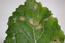 Pest & Disease Management - Leptosphaeria maculans (Phoma leaf spot) on field vegetable crops