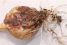 Pest & disease factsheet - Botrytis (Onion neck rot)