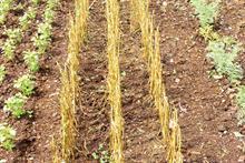 Pest & Disease Factsheet - Puccinia allii on allium crops