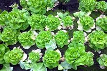 """New disease outbreak """"jeopardises lettuce growing in soil"""""""