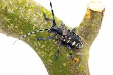 What you must do if you find Asian longhorn beetle