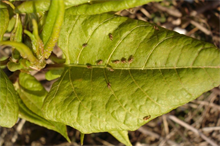 CABI trials natural control methods for tackling knotweed in the Netherlands
