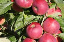 Apple Eden