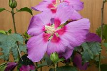 Demand exceeds supply for new hibiscus