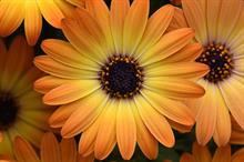 Osteospermum 'Serenity™ Sunshine Beauty'
