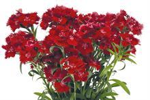 Dianthus Rockin' Red