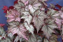 Begonia Pink Gin