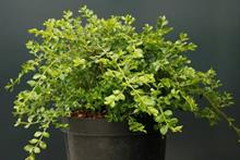 'Blight-resistant boxwood' launched