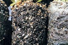 Black root rot: how to protect vulnerable crops against black root rot attacks on ornamentals crops