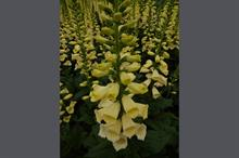 Digitalis 'Lemoncello'