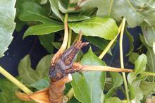 Pest & Disease Factsheet - Botrytis on ornamentals crops